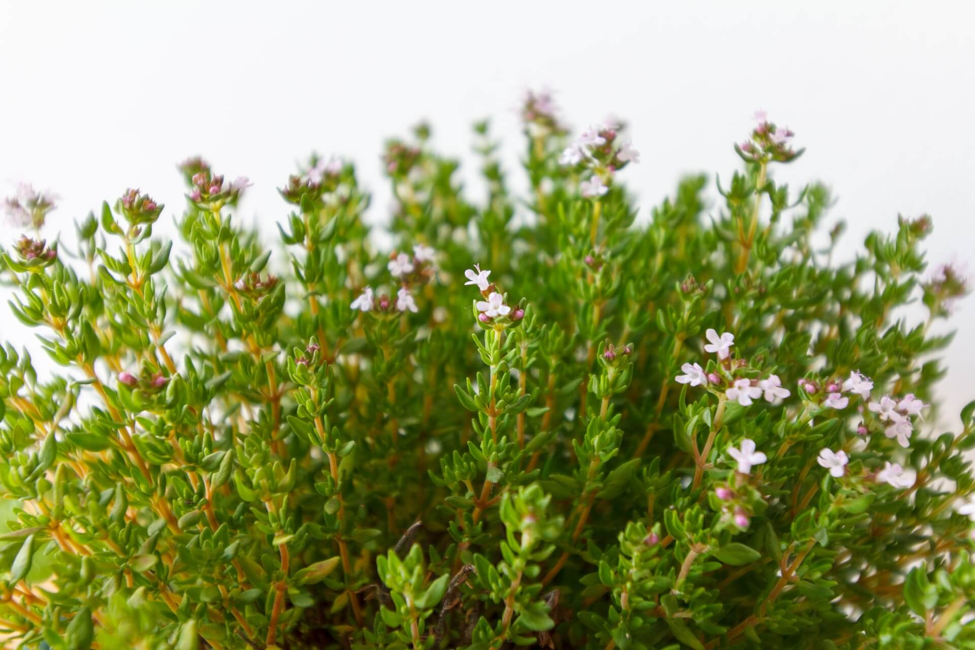 Benefits of Thyme and It's Substitutes in 2020 for Delicious Cooking, thyme substitutes, substitute for thyme,