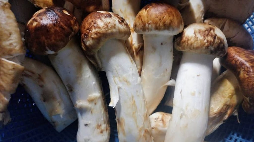 Matsutake mushrooms is one of the best Types of Mushrooms in 2021 for any mushroom recipe and best substitute for mushrooms 2021