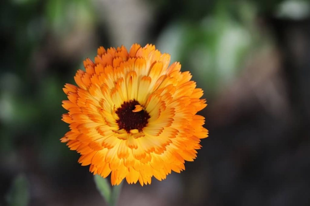 Marigold Flowers is the perfect saffron substitute. substitute for saffron. saffron threads substitute. substitutes for saffron. substitute saffron. is there a substitute for saffron
