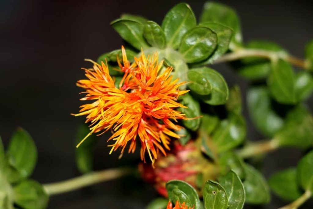 Safflower is the perfect substitute for saffron. Favorite Saffron threads Recipes, how many teaspoons is 1 gram of saffron, how to use saffron threads. safflower vs saffron
