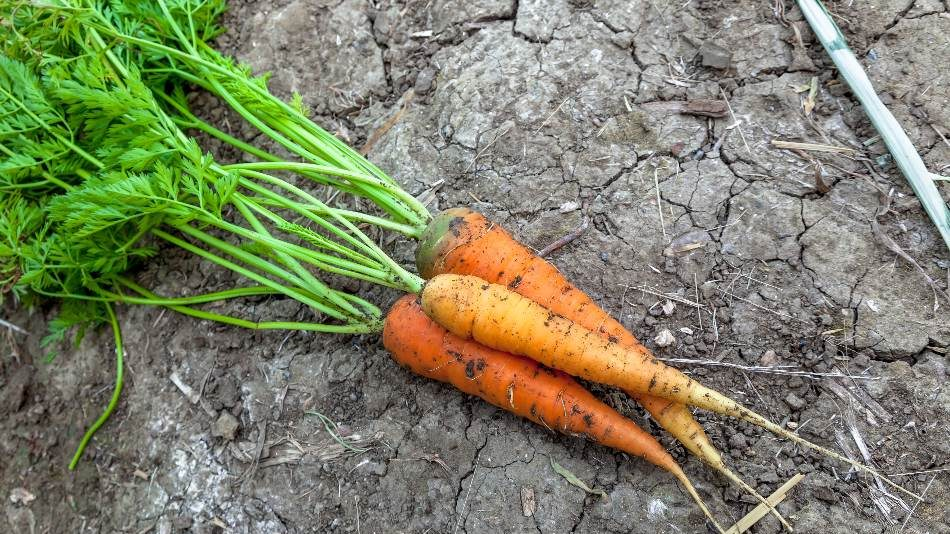 Carrot Greens, parsley substituteindia, substituteforparsleyin fish pie, substituteforparsleyin meatballs, parsley substitutefor salmon, what is a substitute for parsley, dried parsley substitute