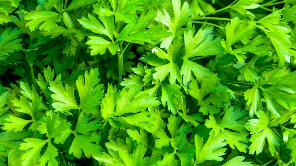 Parsley is a good choice for coriander substitute. cumin substitute coriander, can you substitute coriander for cumin, coriander substitute for cumin