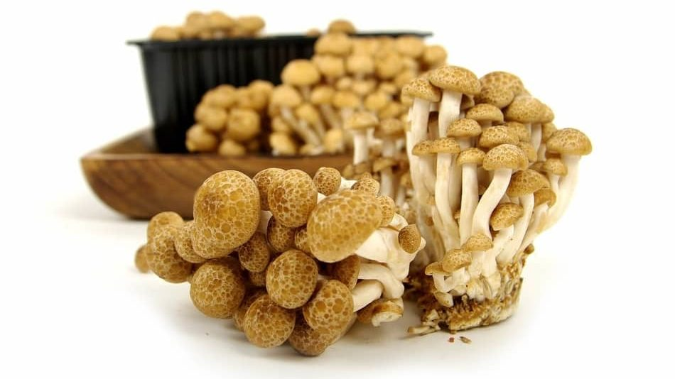 Beech mushrooms is one of the best Types of Mushrooms in 2021 for any mushroom recipe and best substitute for mushrooms 2021